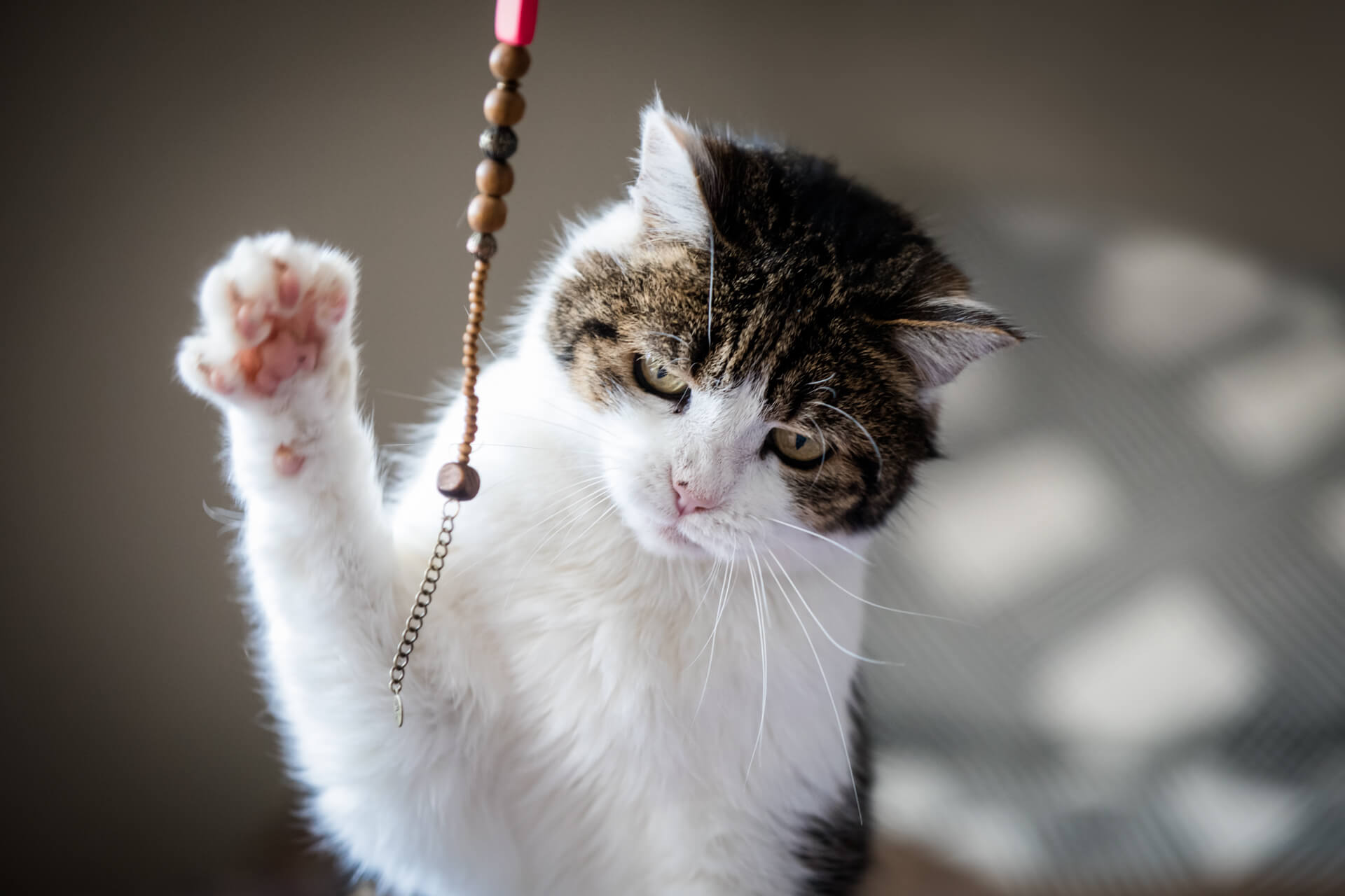 cat swiping his paw at a string