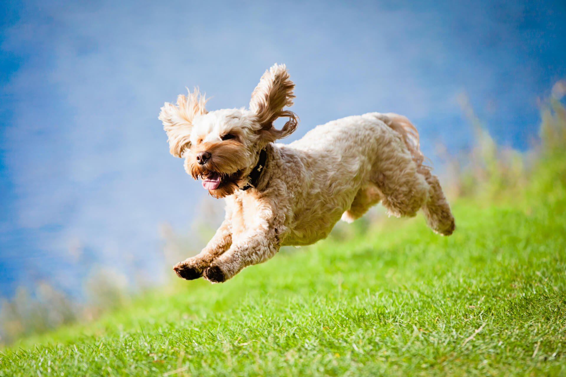 dog leaping in the air