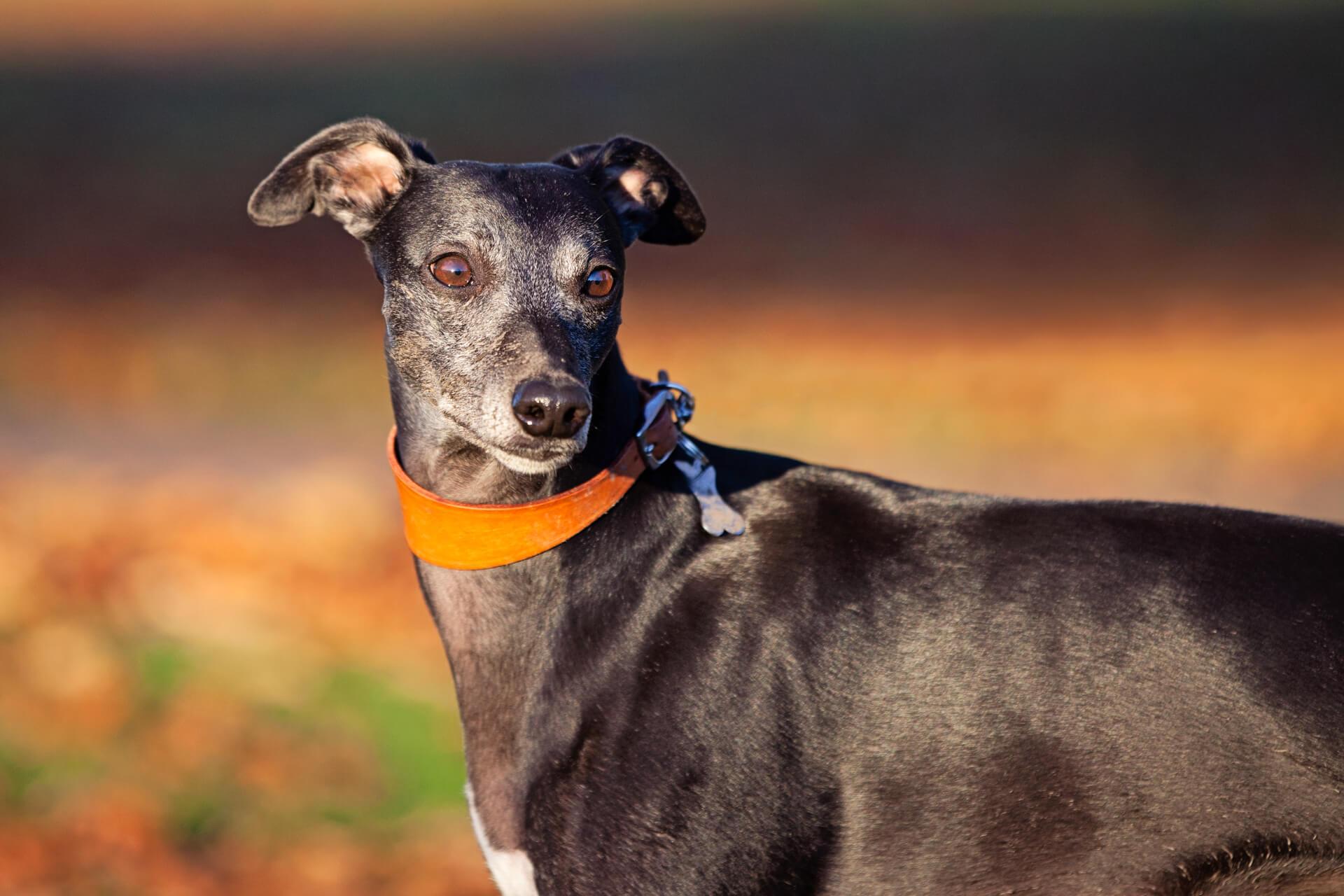 dog with an orange collar