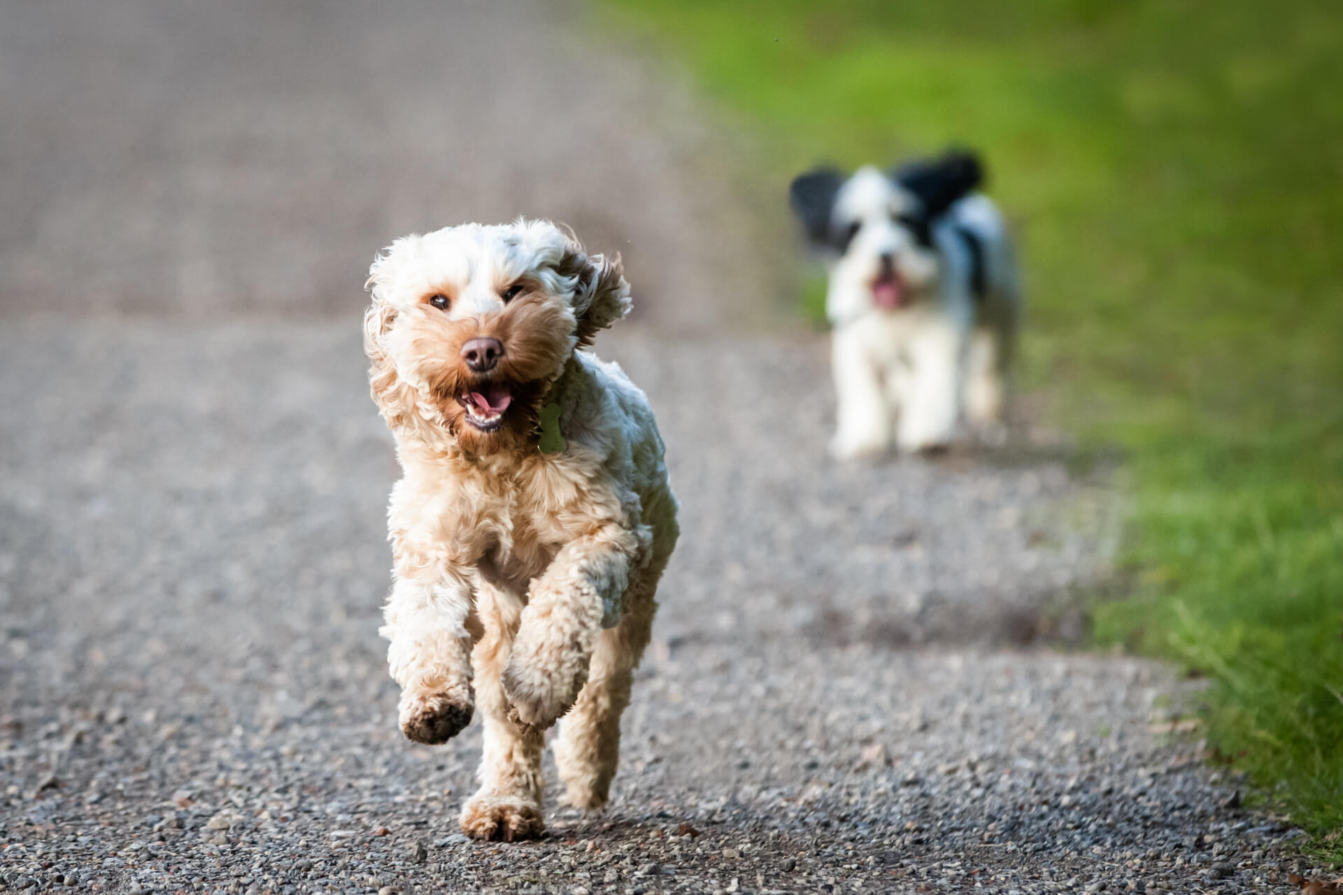 puppy running to the camera with another dog in the background