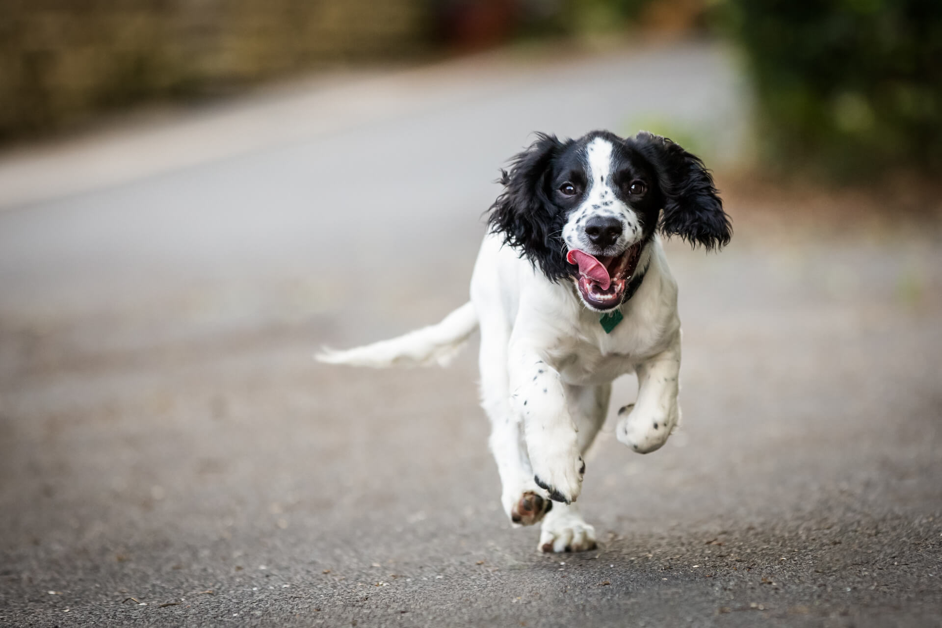 spaniel running towards the camera with his tongue hanging out