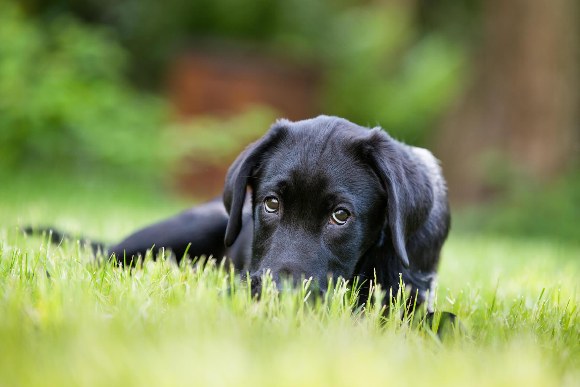 Labrador puppy peering over the grass