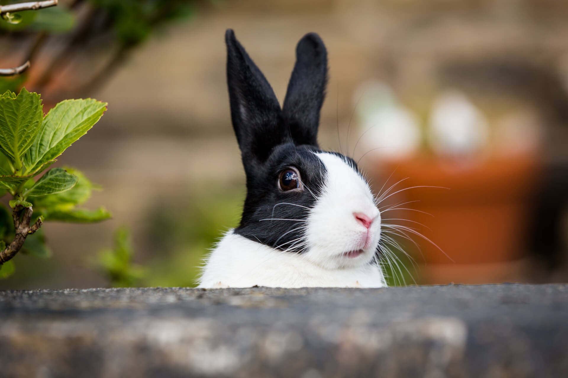 rabbit poking his head above a wall