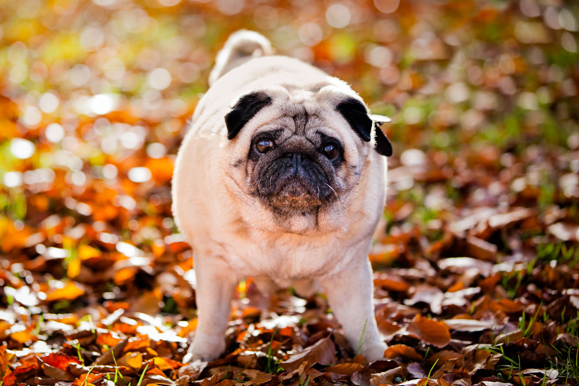 pug standing in some autumn leaves