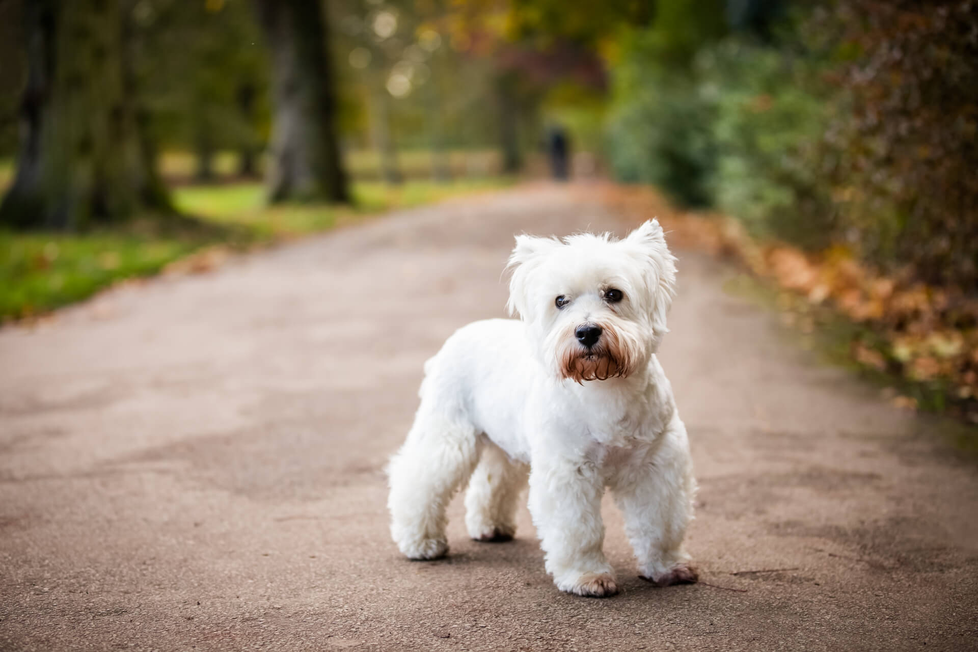 small white dog standing on a park pathway