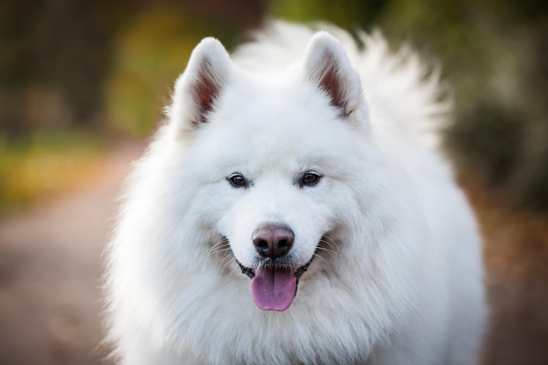 Samoyed dog portrait with his tongue hanging out