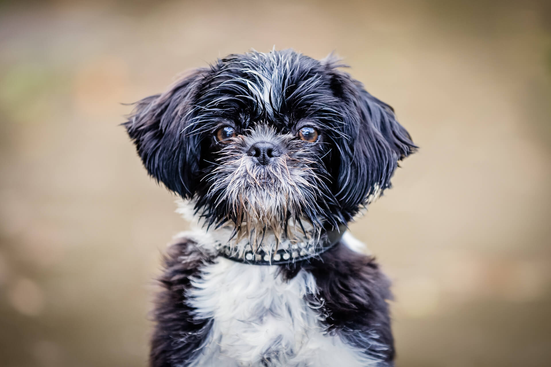 Yorkshire pet photography- face of cute puppy