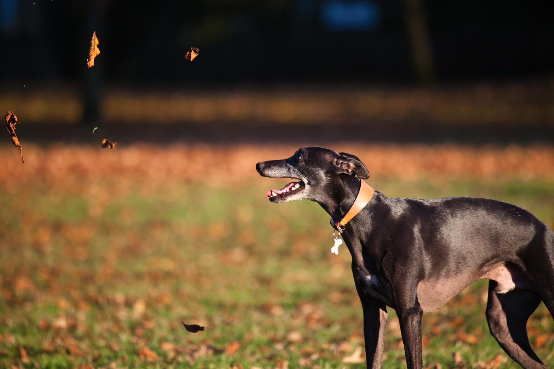 dog looking at leaves blowing in the wind