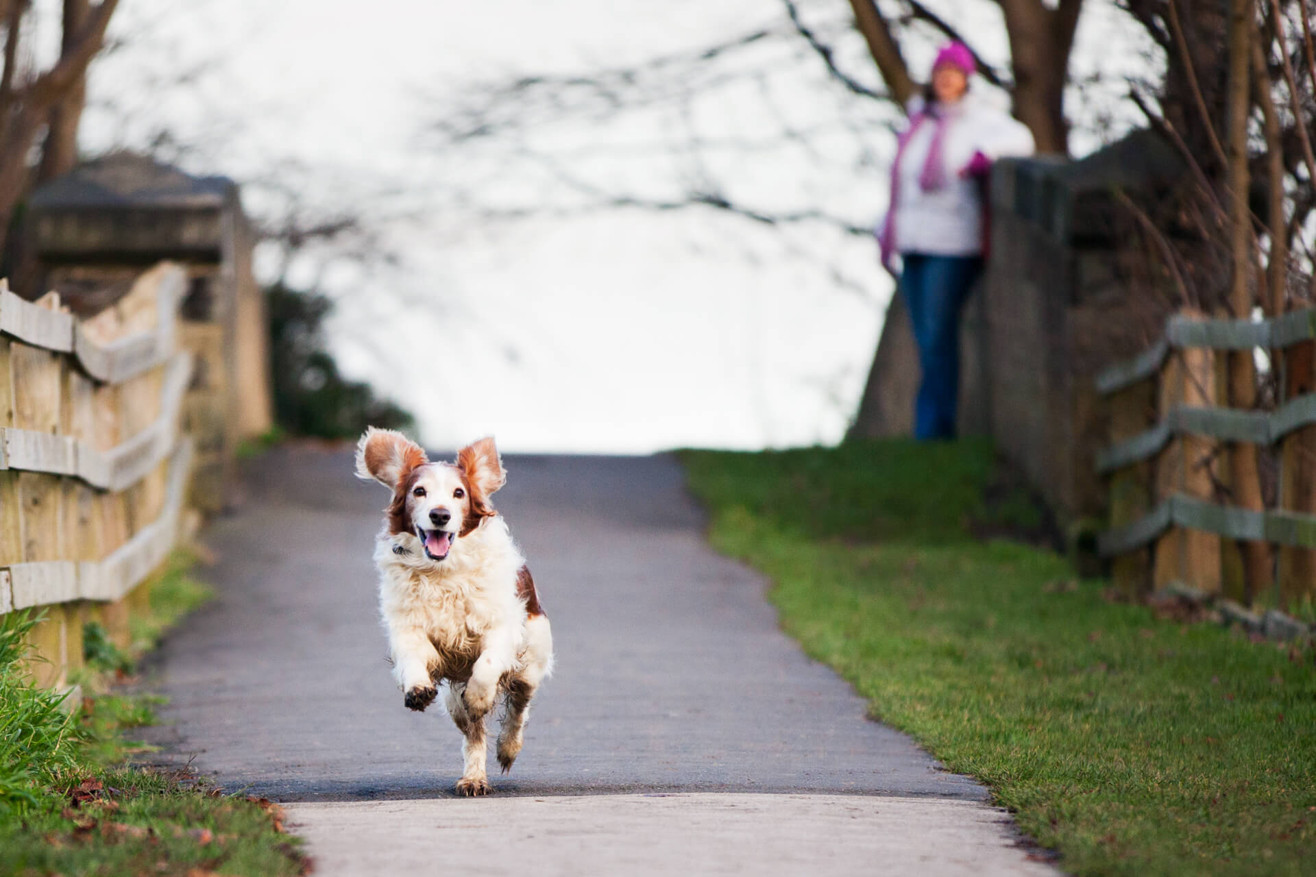 spaniel running fast down a path with his ears flapping
