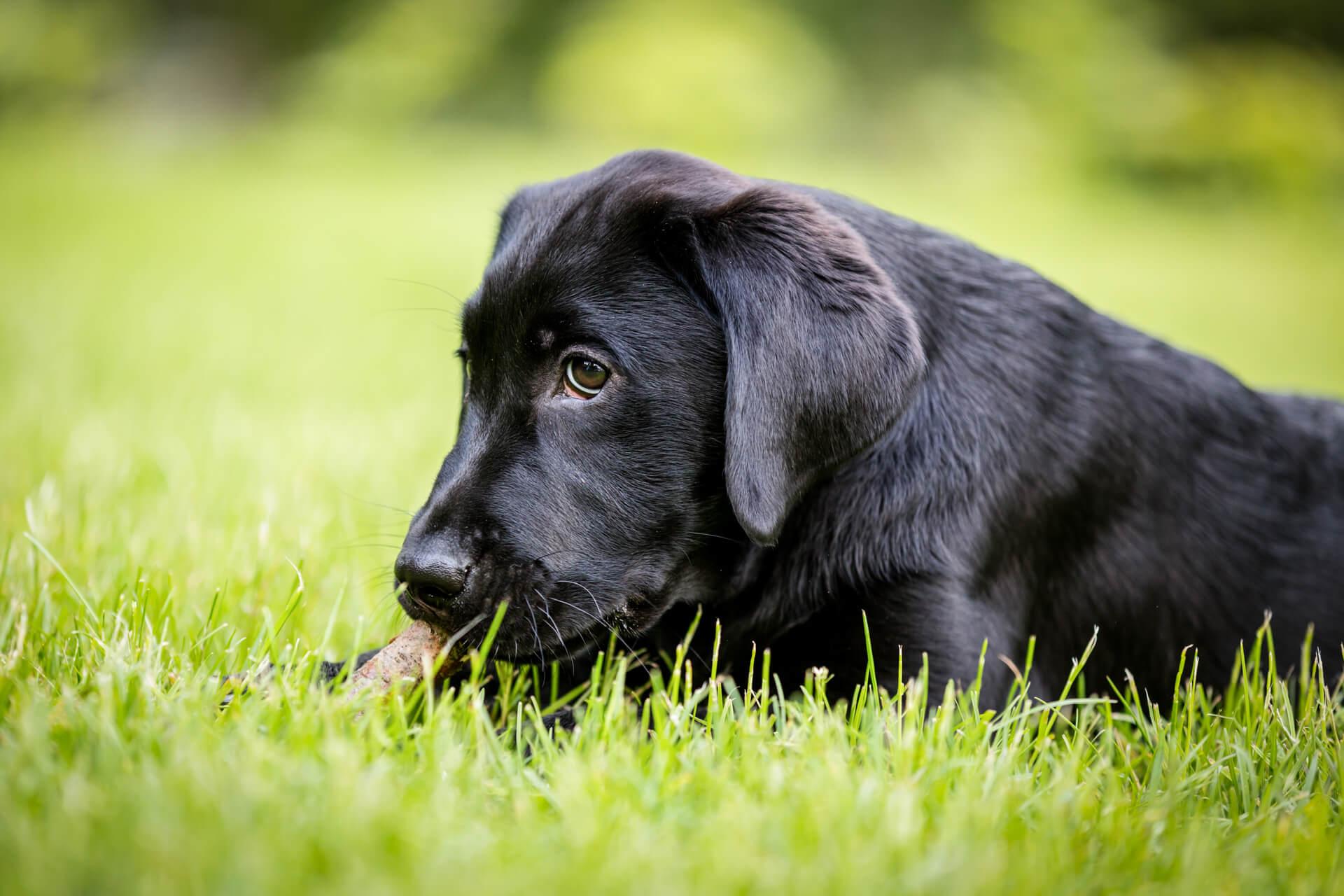 labrador puppy chewing a stick