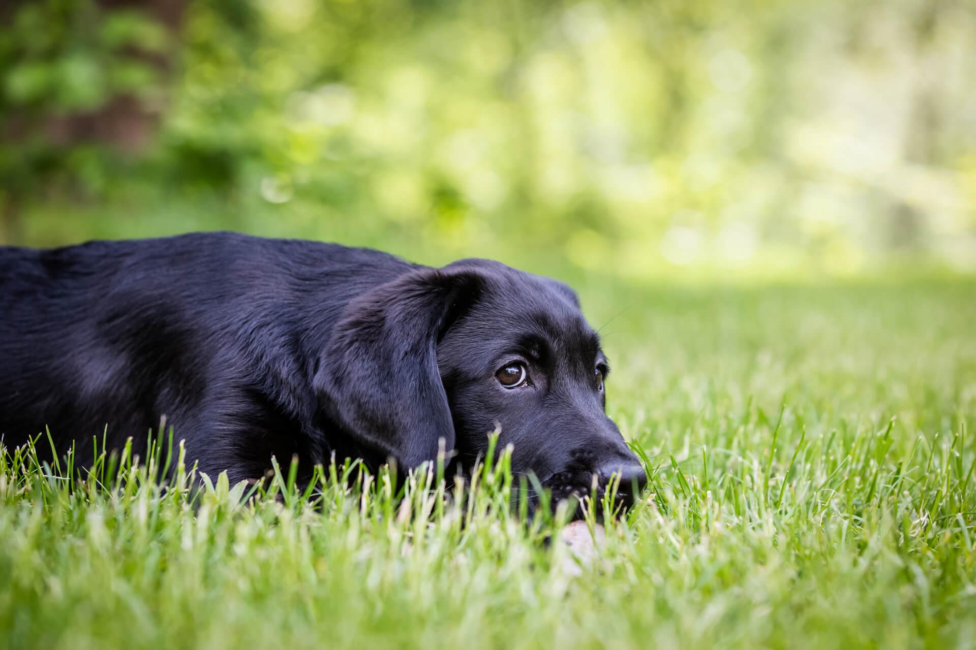labrador puppy lying in the grass