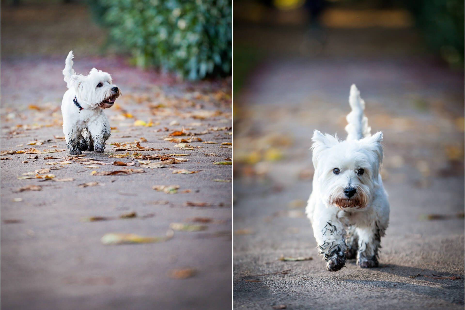 little white dog running along a park pathway