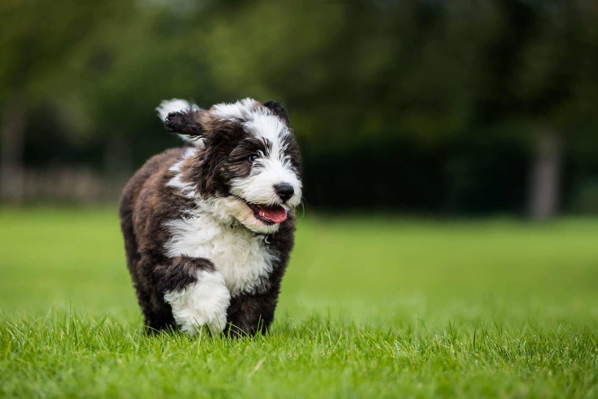 fluffy dog walking through the grass