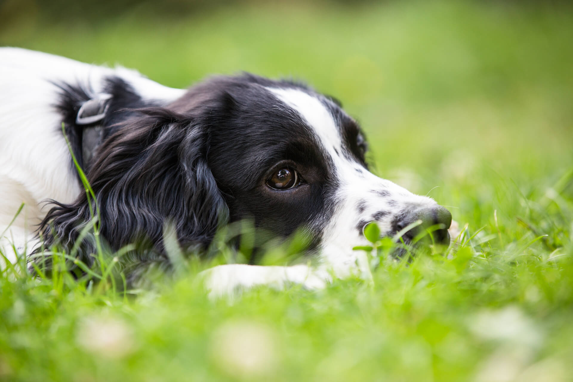spaniel with his head in the grass