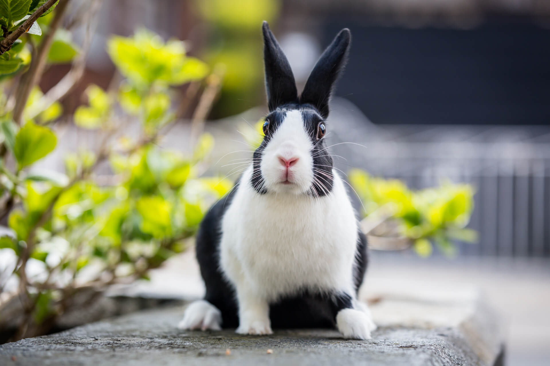 rabbit looking at the camera whilst sitting on a wall