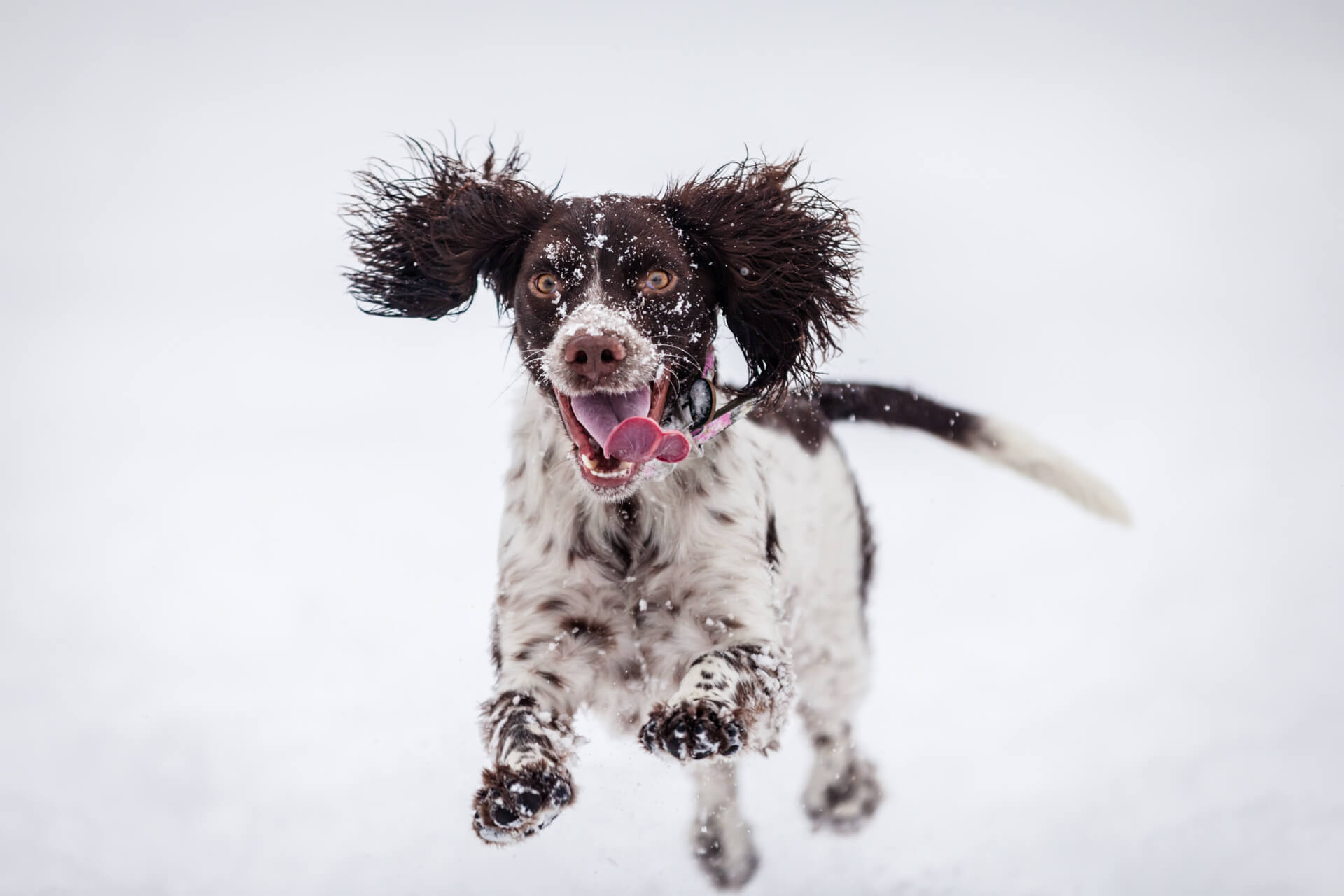 spaniel leaping in the snow