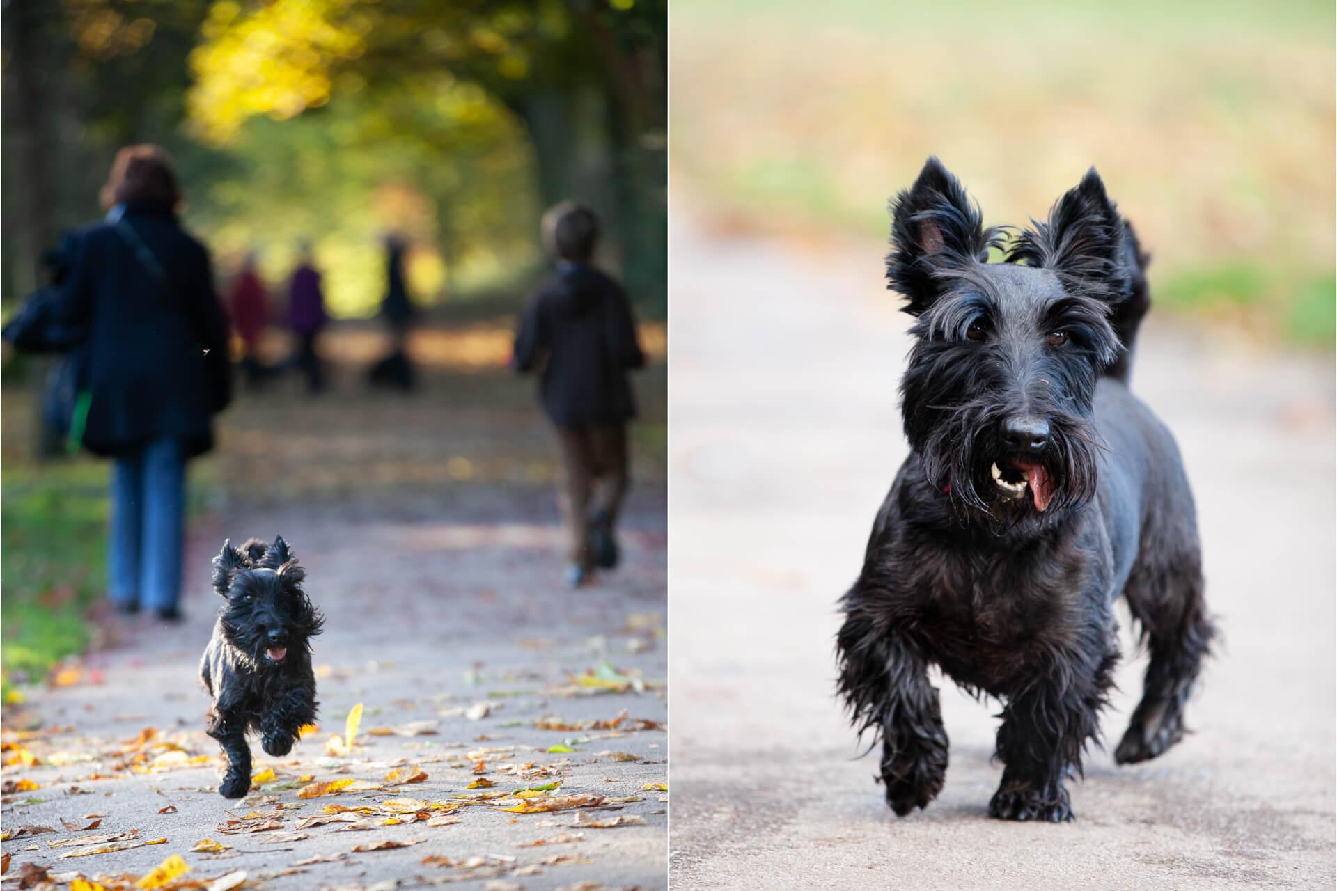 little black dog running along a pathway